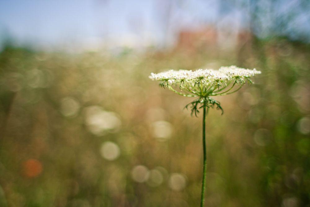 Blume vor dem Feld